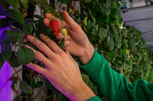 AGRICOOL, PRODUCTION URBAINE DE FRAISE